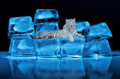 White Bengal tiger lying on blue ice cubes — Stock Photo