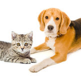 Kitten Scottish Straight and beagle dog — Stok fotoğraf