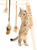 Playful cute kitten Scottish Straight — Stock Photo