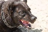 愤怒的狗 — 图库照片