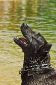 Portrait Staffordshire terrier curious looking up — Stock Photo