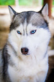 Siberian huskies in the open-air cage — Stock Photo