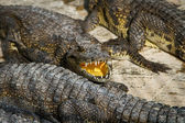Crocodiles on a farm in Cambodia — Stock Photo