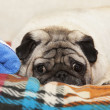 Stock Photo: Cute Pug dog lying on plaid