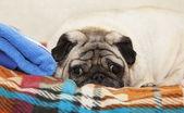 A cute Pug dog lying on a plaid — Stock Photo