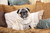 A cute Pug dog sitting on a sofa — Stock Photo