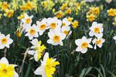 Field of beautiful daffodils in spring time — Stock Photo