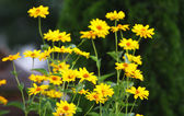 Yellow flowers - nature background — Stock Photo