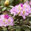 Stock Photo: Pink rhododendron
