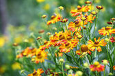 Yellow and red flowers in the garden — Stock Photo