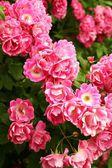 Bush of beautiful pink roses — Stock Photo