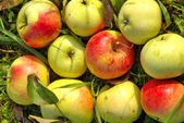 Apples on a garden — Stock Photo