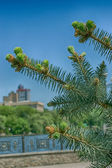 Young cones of pine-tree — Stock Photo