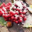 Stock Photo: Snow has sprinkled fruits viburnum