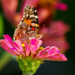 Stock Photo: Butterfly & flower (lepidoptera)