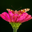 Butterfly on the flower — Stock Photo #12810287