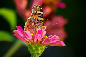 Butterfly & flower (lepidoptera) — Stock Photo