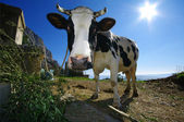 Black and white cow on island in Croatia 3 — Stock Photo