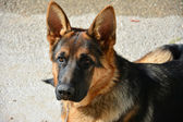 Dog breed German shepherd — Stok fotoğraf