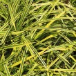 Ornamental grass like house plant — Stock Photo