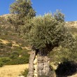 Ancient olive tree in Greece — Stock Photo