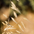 Sheaf of wild wheat — Stock Photo