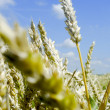 Single stem of wheat in a field — Stock Photo