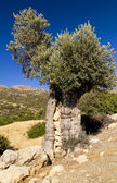 Ancient olive tree filled with rocks — Stock Photo