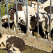 Stock Photo: Young black and white lambs in sheep pen