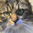 Curious stare of pet cat close up — стоковое фото #13489132