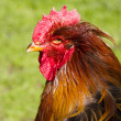 Proud colorful roosters head and neck — Stock Photo