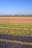 Hyacinth fields in bloom in Holland — Stock Photo