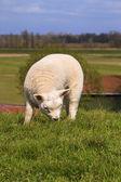 New born lamb grazing — Stock Photo