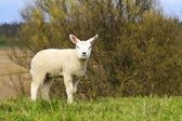 A cute lamb standing on a hill — Stock Photo