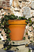 Ivy growing in a terracotta pot — Stock Photo