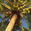 Royalty-Free Stock Photo: Coconuts hanging on a palm tree
