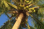 Coconuts hanging on a palm tree — Stock fotografie