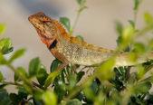 Oriental Garden Lizard, Calotes versicolor — Stock Photo