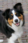 A young alert collie dog — Stock Photo