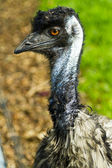 Head and neck of an emu — Stock Photo