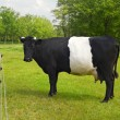 Постер, плакат: Belted Galloway Cow with distinctive white stripe