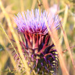Stock Photo: Pink thistle