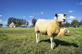 Lamb standing in a green field — Stock Photo
