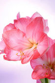 Amaryllis on violet gradient background. — Stock Photo