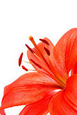 Red lilly macro on white background — Foto de Stock