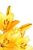 Yellow lilly macro on white background — 图库照片