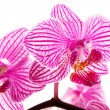 Orchid on white — Foto Stock