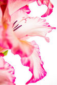 Gladiolus pink on white — Stock Photo
