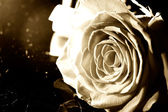 Sepia rose — Stock Photo