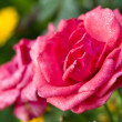 Roses after rain — Stock Photo